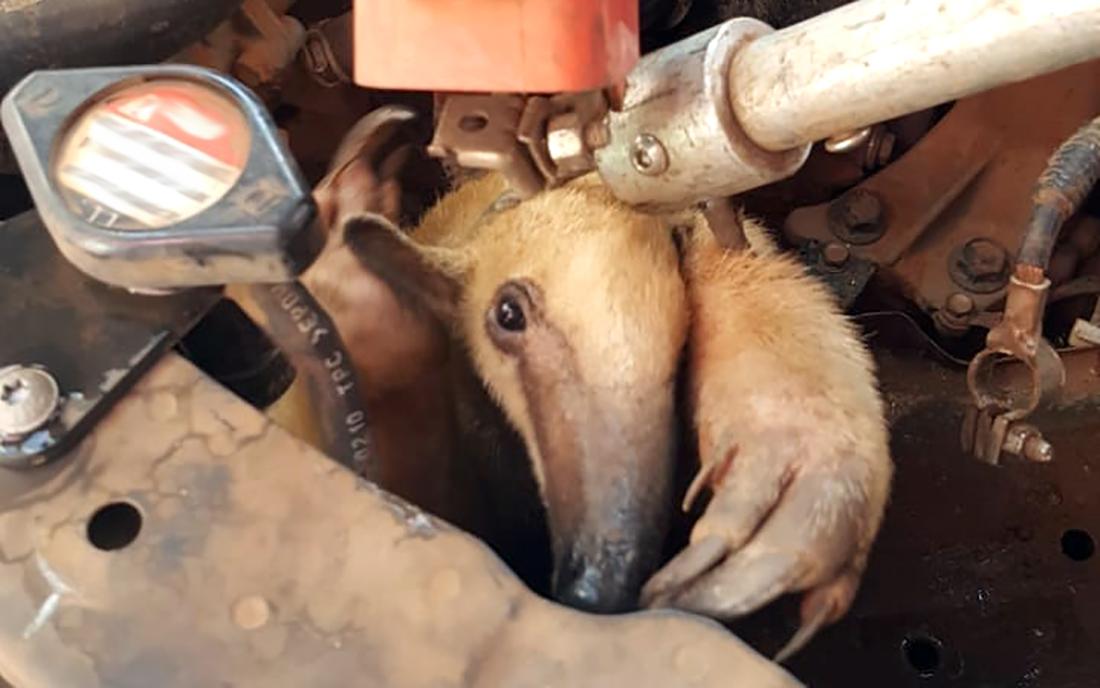 Sinop: bombeiros resgatam filhote de Tamanduá em motor de carro - Só Notícias
