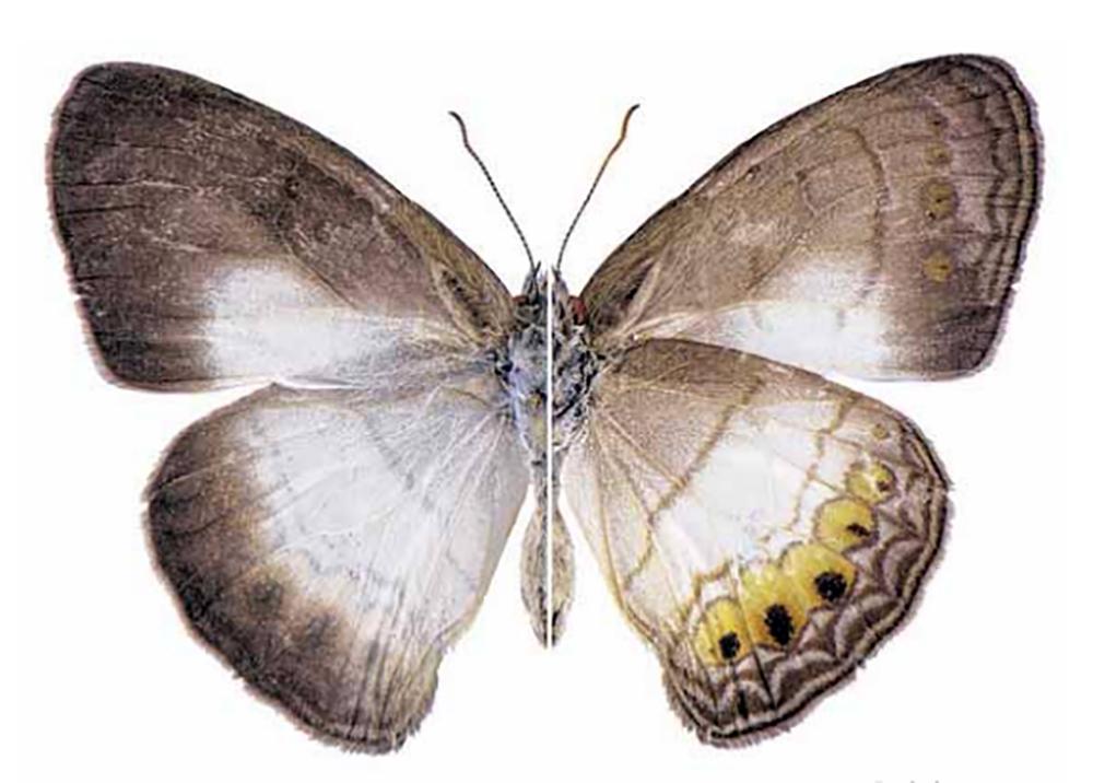 Pesquisadores descobrem novo gênero e espécie de borboleta em Alta Floresta - Só Notícias